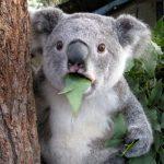KoalaPawa